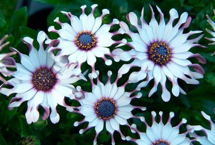 Гацания, правила ухода и выращивания из семян