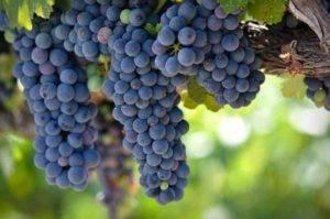 Виноград «зилга» — сорт универсальный