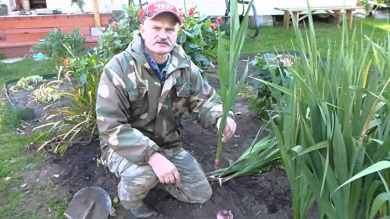 Как правильно обрезать луковицы гладиолусов на хранение
