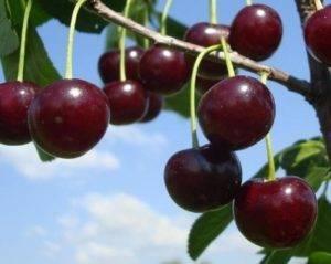 Описание сорта вишни застенчивая и характеристики плодоношения, правила выращивания