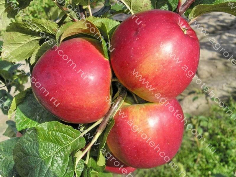 Описание, характеристики и история селекции яблонь сорта лигол, правила выращивания