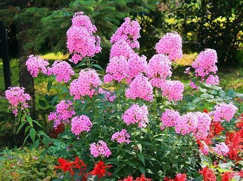 Правила подкормки флоксов для обильного цветения