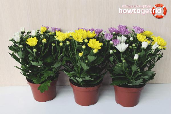 Комнатная хризантема в горшке: уход в домашних условиях