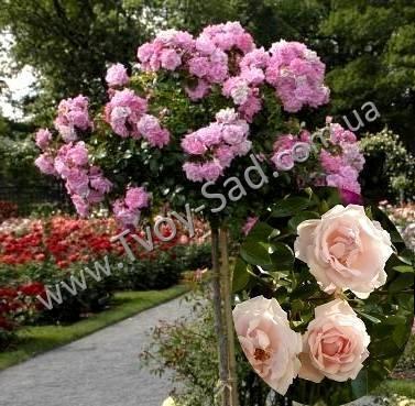 Плетистая роза нью доун: неприхотливый элегантный сорт в декоре сада