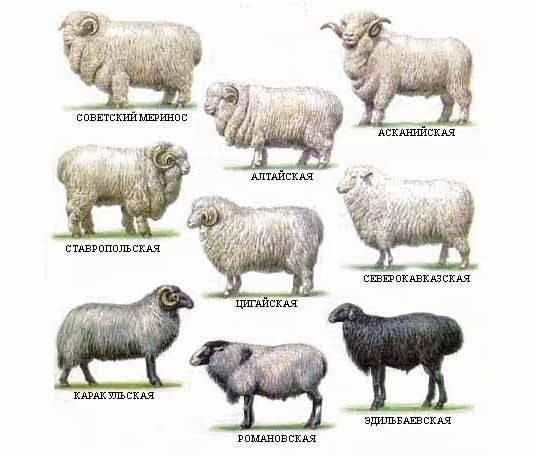 Молочные овцы - описание пород с фото | россельхоз.рф