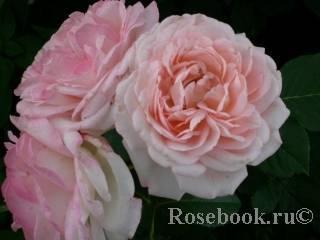 Роза гита ренессанс описание. гита ренессанс. что в имени твоем