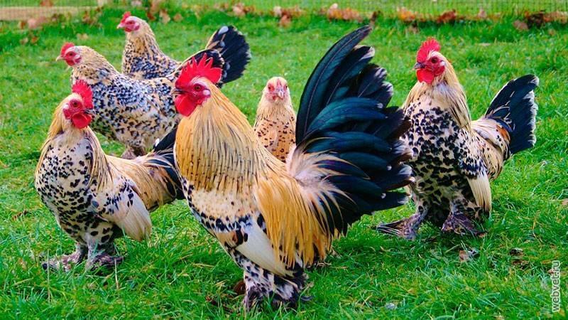 Порода куриц лохмоногая ушанка – гордая несушка в штанах