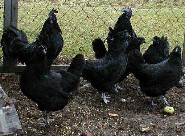 Порода аям чемани: описание абсолютно чёрных куриц и петухов