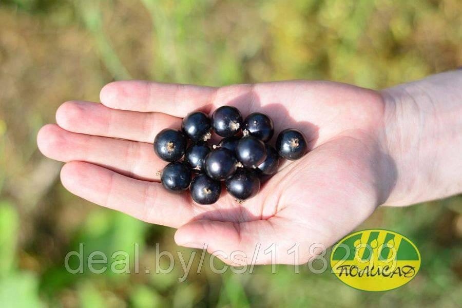 Смородина чёрная гармония: характеристики сорта и особенности выращивания