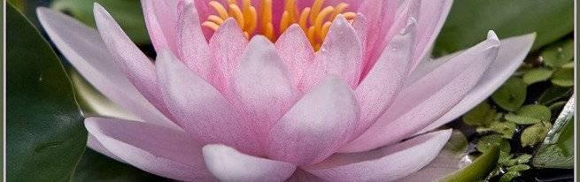 Все о домашней (горшечной, комнатной) лилии: посадка, уход, выращивание