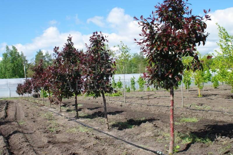 Декоративная яблоня роялти – как правильно ухаживать за растением?
