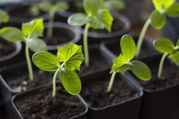 Как прорастить семена огурцов