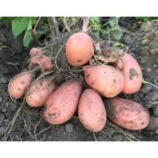 Картофель журавинка: описание сорта, фото, отзывы, особенности выращивания и уход