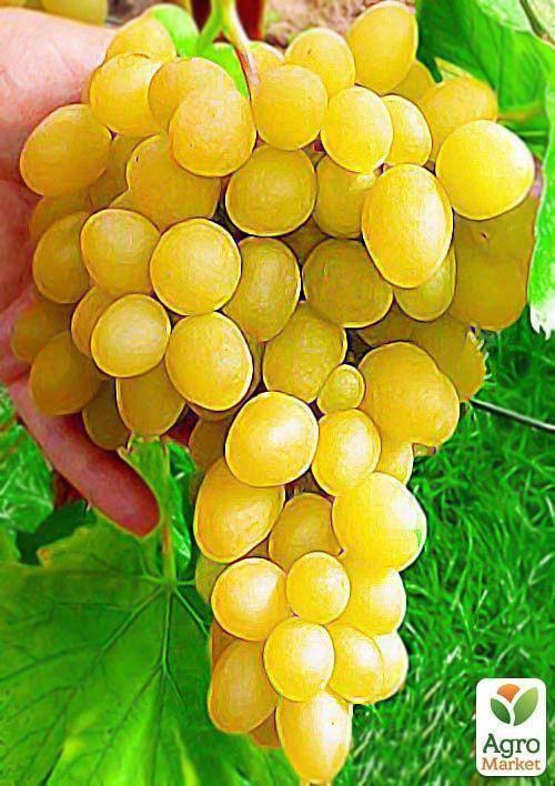 Особенности винограда кеша