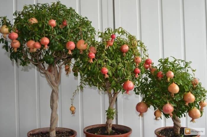 Декоративные яблони – все о посадке, уходе и лучших сортах