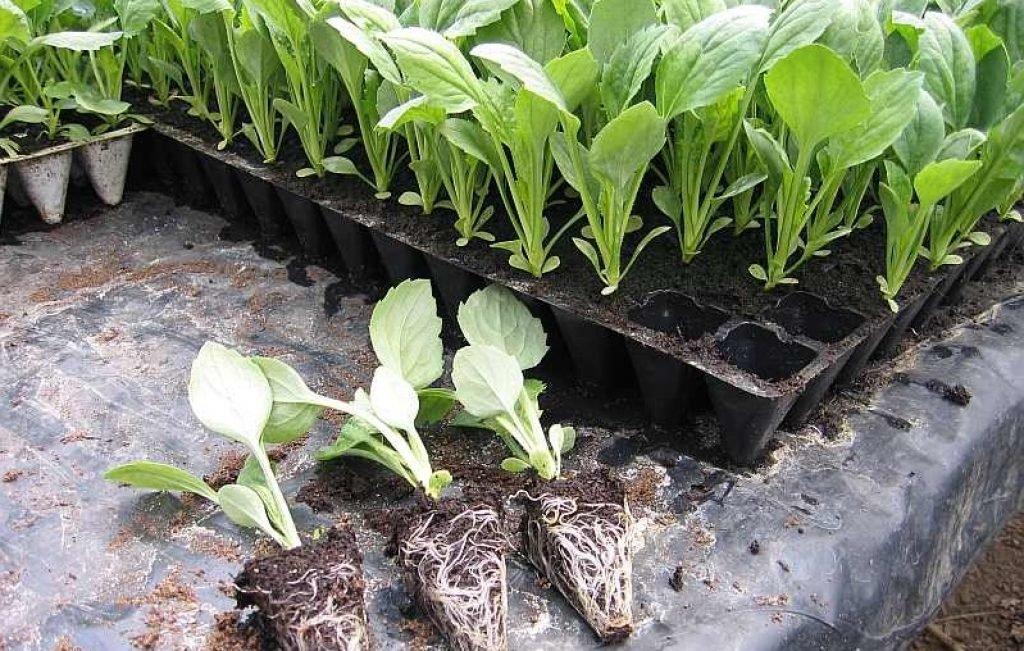Капуста - посадка и уход в открытом грунте, основные правила выращивания