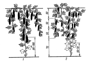 Обрезка огурцов в теплице схема