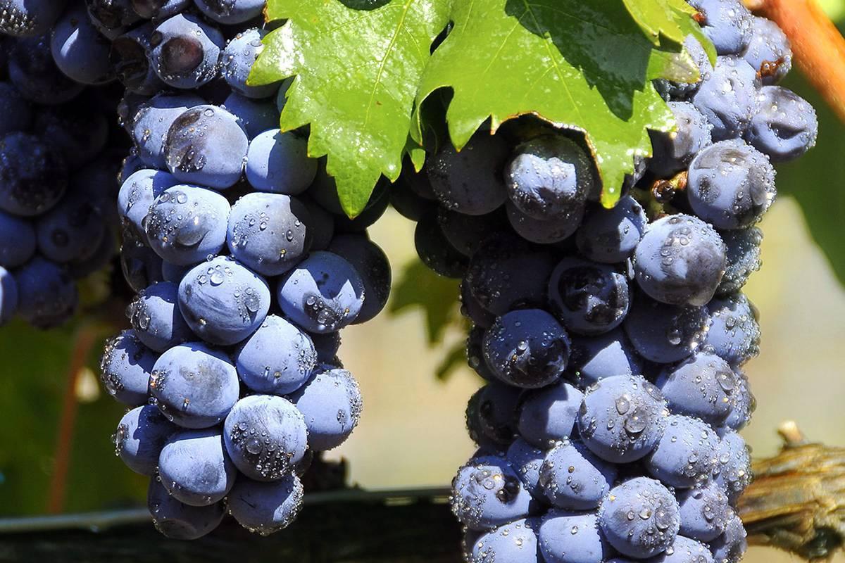 Виноград шардоне: описание и характеристика сорта