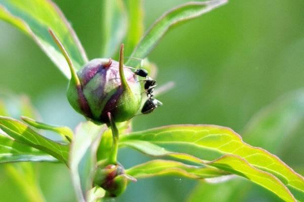 О борьбе с муравьями на пионах: как защитить цветы народными средствами