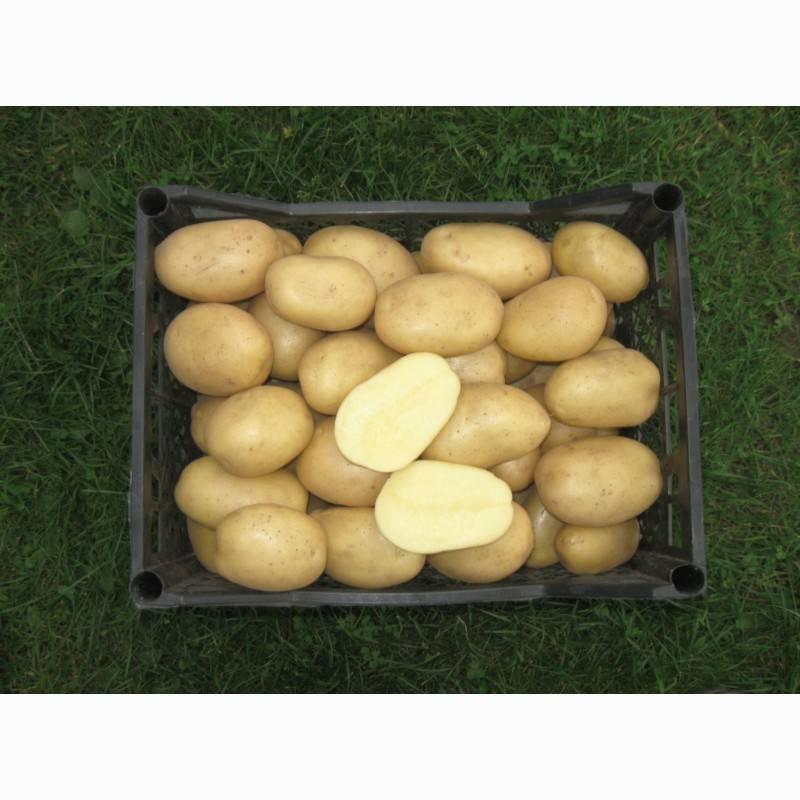 Картофель накра
