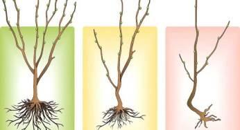 Когда и как сажать сливу весной: пошаговая инструкция с фото для начинающих