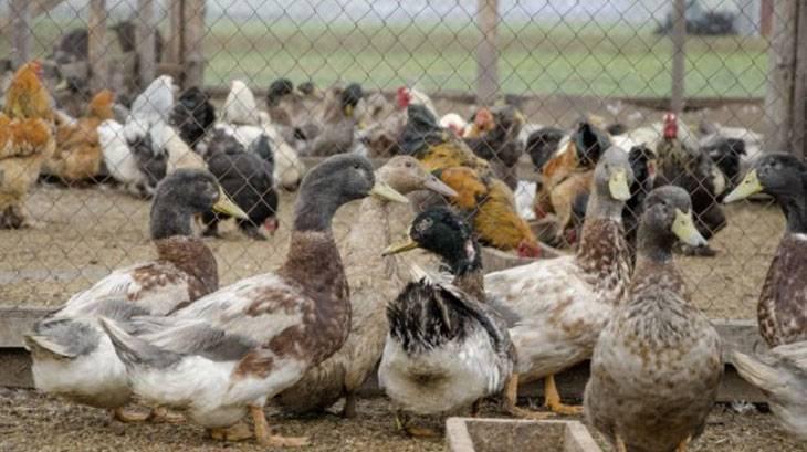 Можно ли содержать в одном помещении кур, уток, гусей, бройлеров и их цыплят