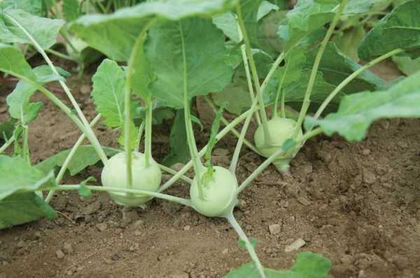 Как вырастить капусту кольраби в открытом грунте?