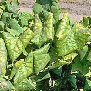 У смородины скручиваются листья чем обработать. меры исправления