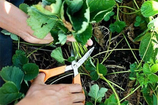 Уход за клубникой после плодоношения: когда обрезать клубнику и чем подкармливать клубнику после плодоношения