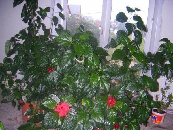Гибискус махровый (52 фото): красный и оранжевый, розовый и желтый комнатные цветки, уход за китайской махровой розой