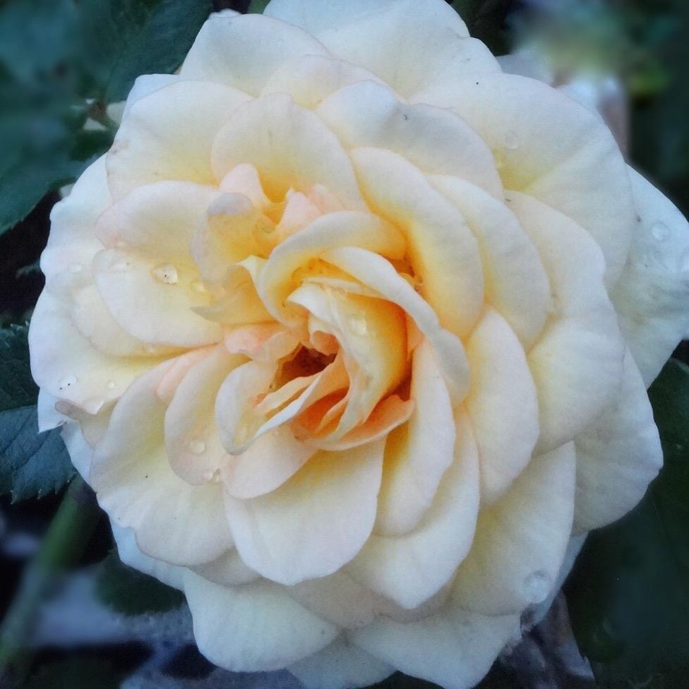 Описание лучших сортов морщинистой розы, размножение, посадка и уход