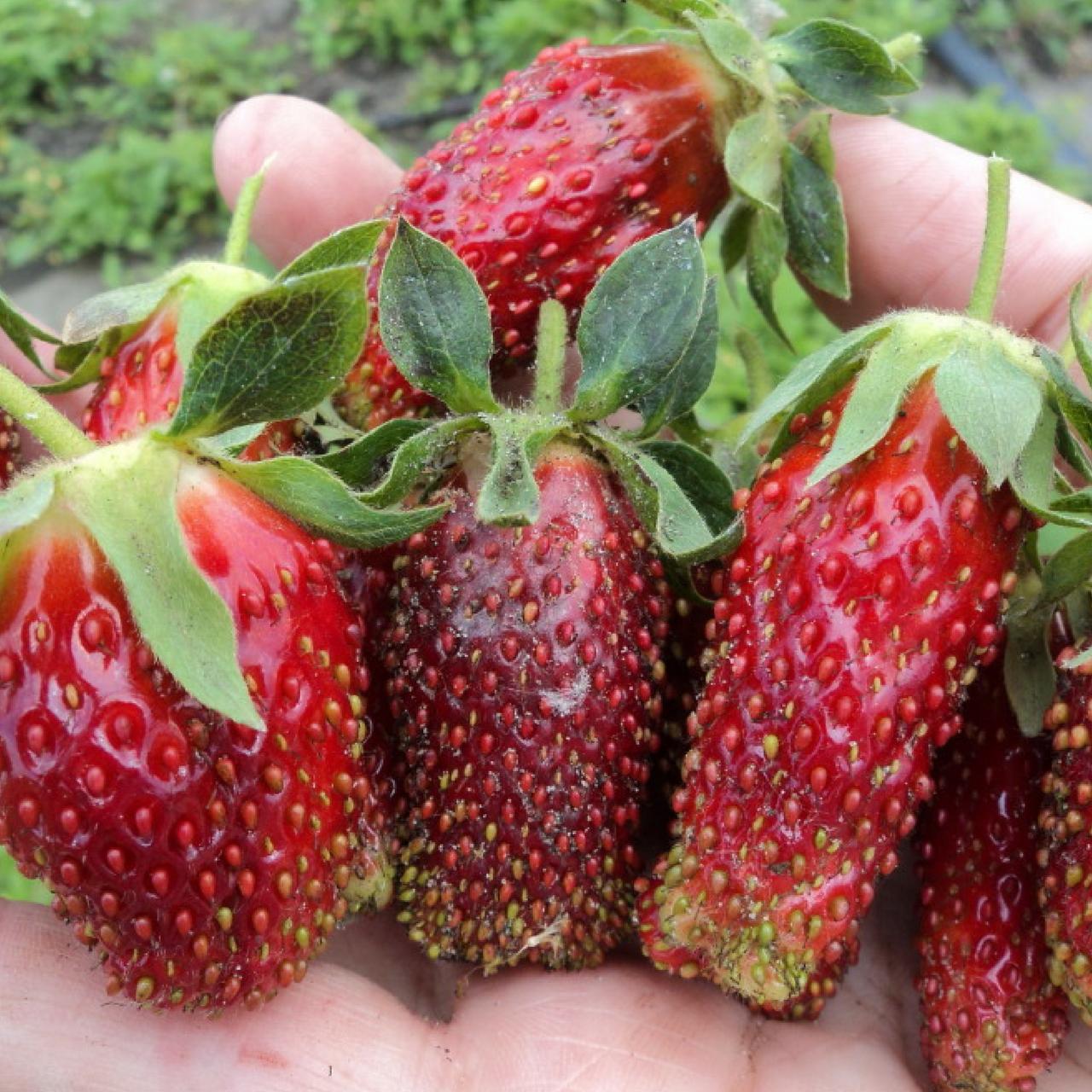 Клубника купчиха – как правильно поливать и удобрять, особенности ухода после плодоношения