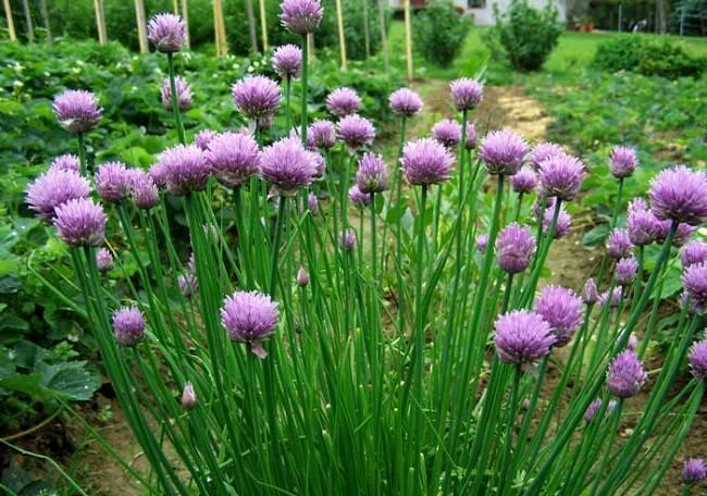 Лук-слизун: полезные свойства и выращивание