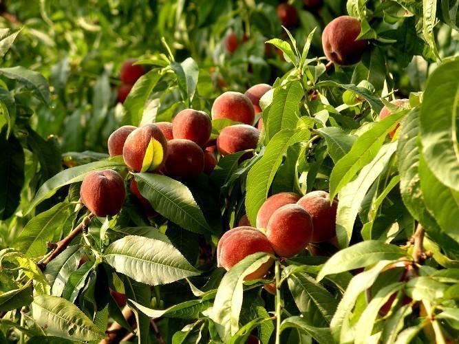Как вырастить персик в средней полосе?
