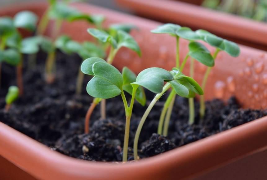Как и когда сажать огурцы на рассаду из семян весной
