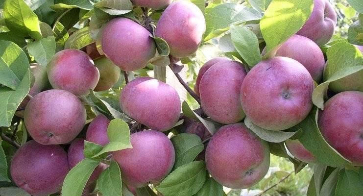 Почему не цветет яблоня – 4 главные причины отсутствия урожая