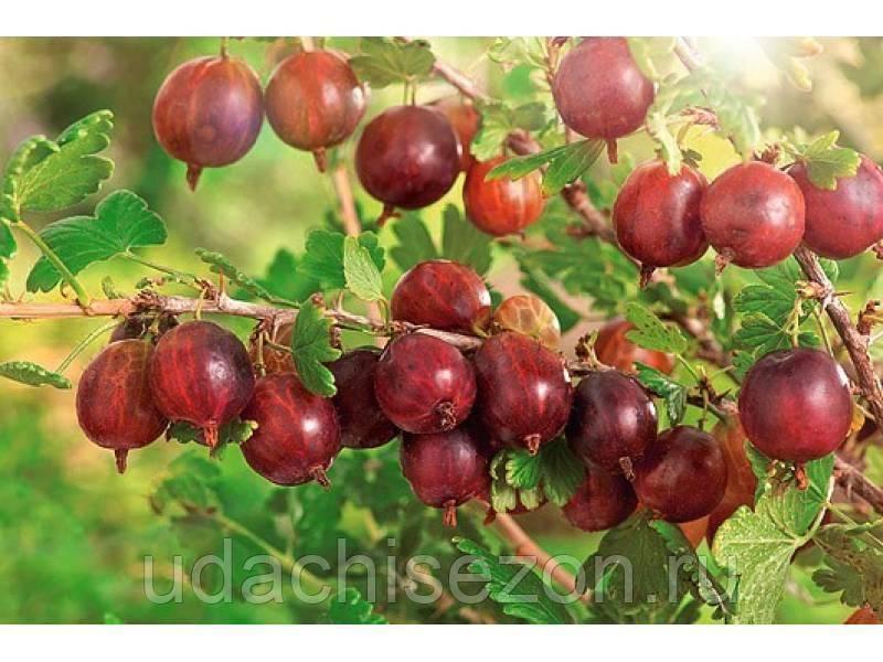 Сорта крыжовника: названия, описания, фото, и особенности выращивания
