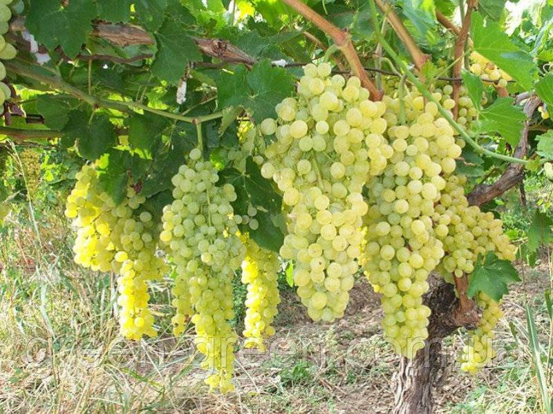 Виноград «аркадия»: как правильно вырастить янтарные плоды с потрясающим вкусом?
