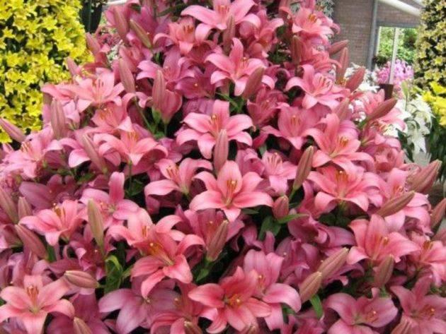 Комнатная лилия – цветок в горшке, уход в домашних условиях