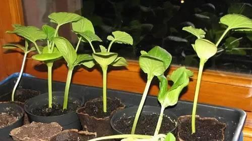 Как правильно выращивать рассаду тыквы в домашних условиях?