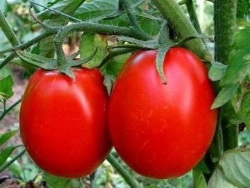 Чем подкормить помидоры? выращивание, уход, удобрения