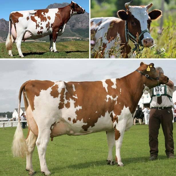 Описание айрширской породы коров
