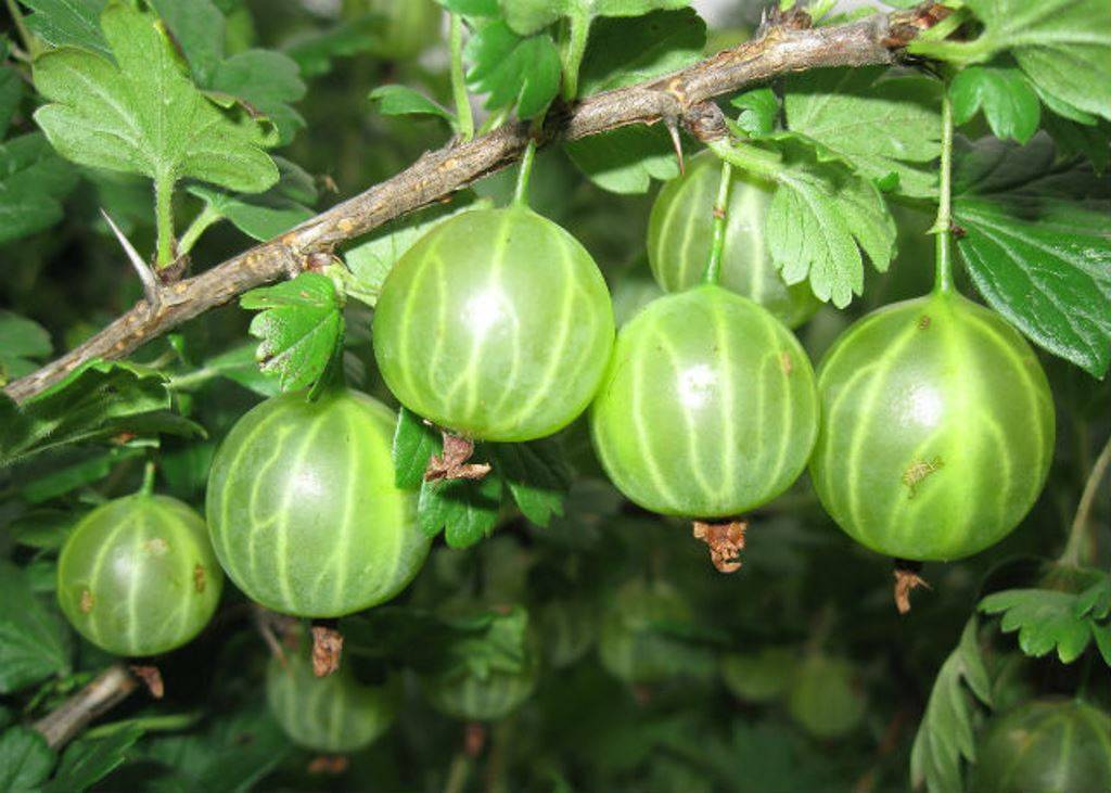 Крыжовник малахит: описание и выращивание сорта