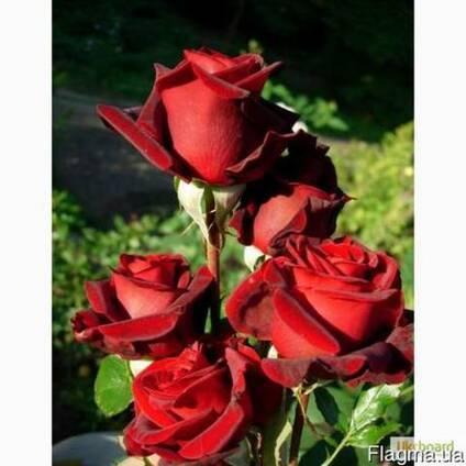 Эффектная черная роза: описание сортов с фото. где взять семена, как самому покрасить или вырастить цветок?