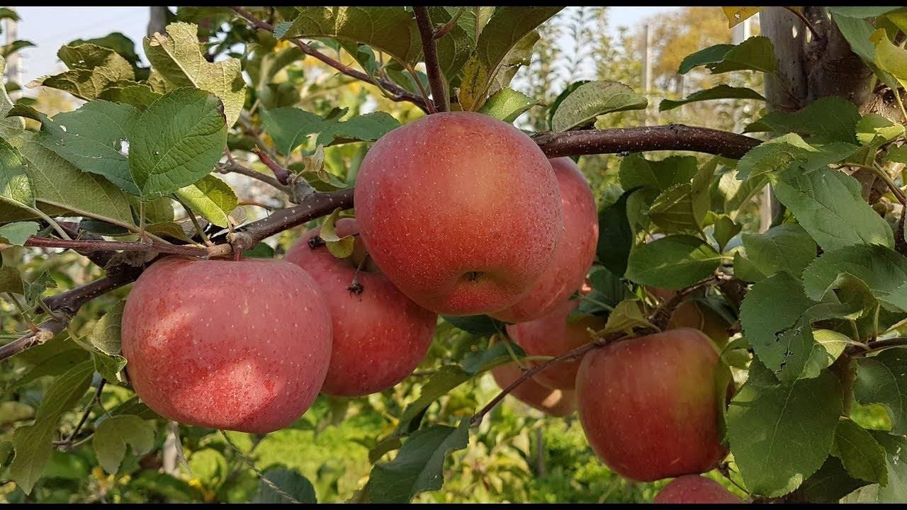 Яблоня фуджи: описание сорта, фото, отзывы садоводов, видео