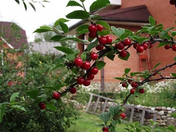 7 самых важных вопросов о выращивании вишни