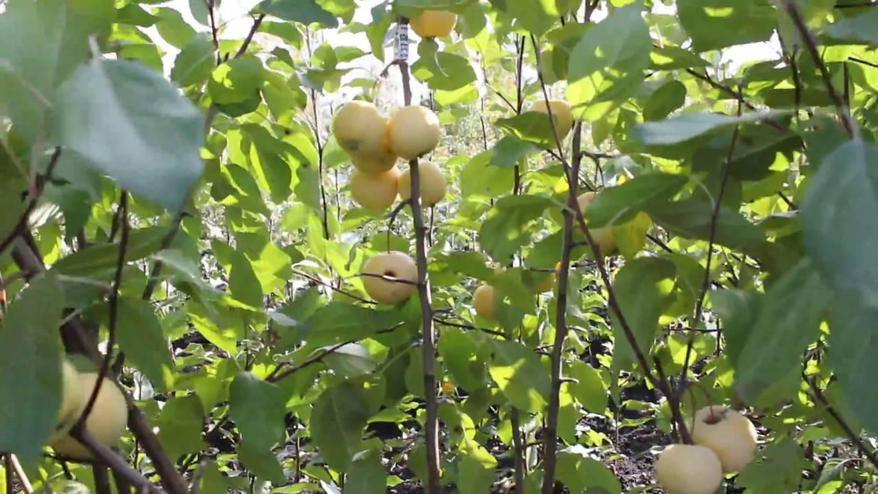 О яблони Уральское Наливное, описание, как ухаживать, формировать, опылять