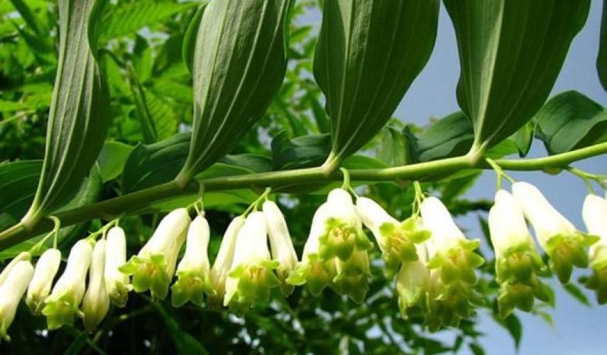 Купена: виды, посадка и уход за цветком