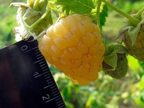 Топ-10 лучших сортов ремонтантной малины