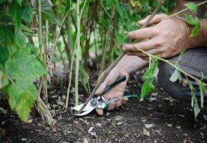 Как бороться с отростками от малины. как избавиться от малины на участке или выводим малину правильно